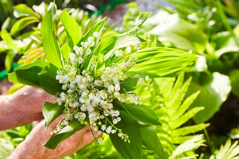 Lily of the valley, valley lily, Convallaria majalis royalty free stock image