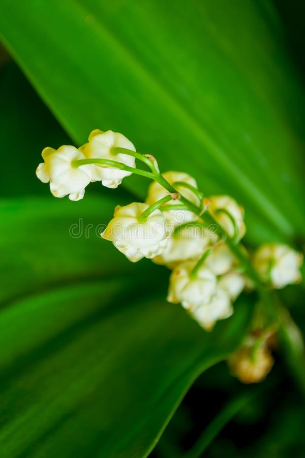 Lily of the valley flower. Lily of the valley white flowers with green leaves royalty free stock image