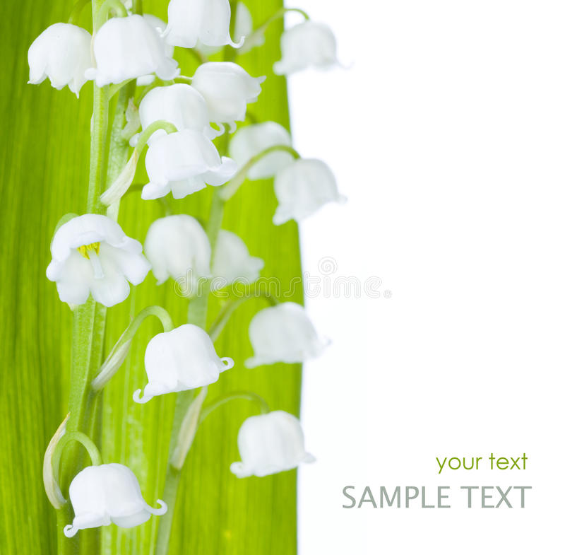 Lily-of-the-walley royalty free stock photo