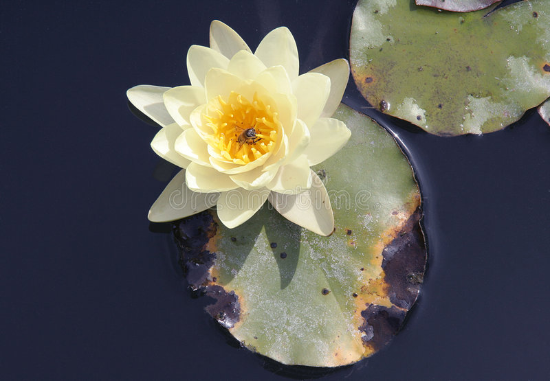 lily water στοκ εικόνες
