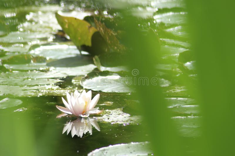 Lily in the water. A lily in the water in the Netherlands stock images