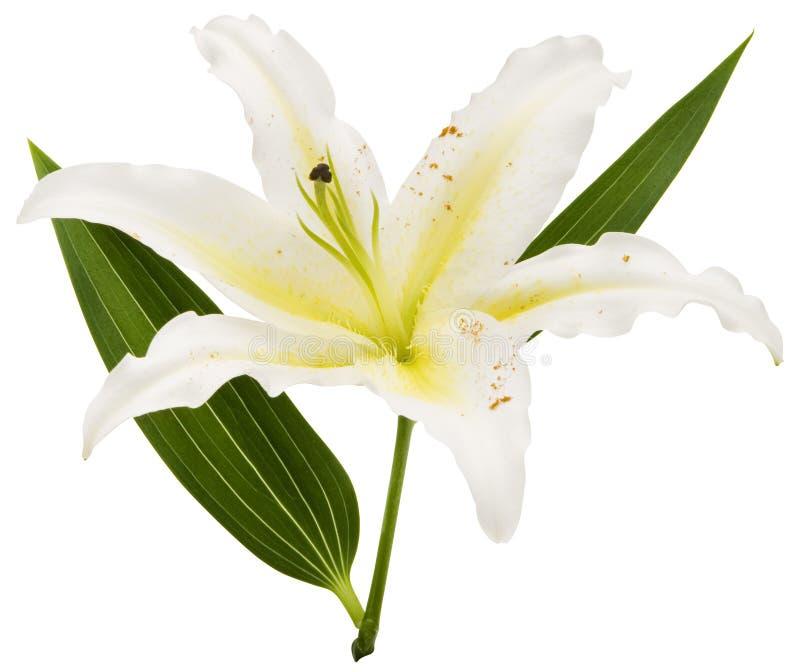 Download Lily white zdjęcie stock. Obraz złożonej z kwiaty, kwiat - 3436148