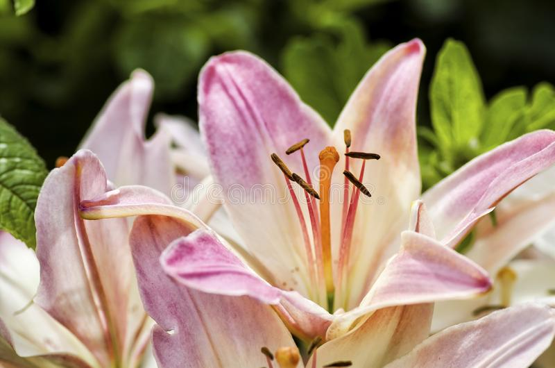 Download Lily white  red close up stock photo. Image of petal - 32185734