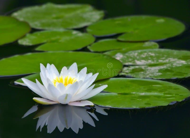 lily white wody zdjęcie stock