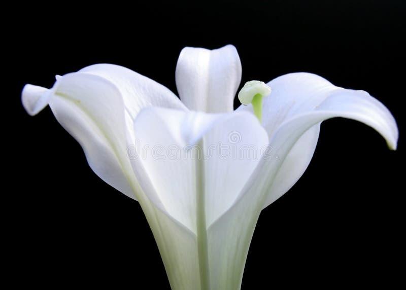 lily wielkanoc obraz royalty free