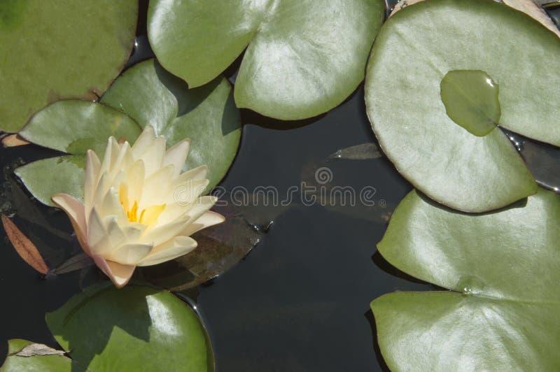 lily wody fotografia royalty free