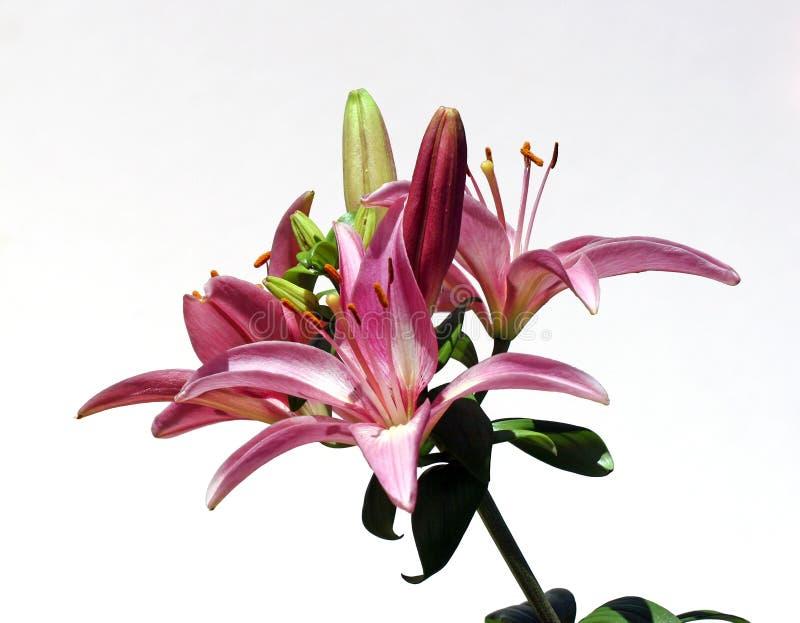 lily wybuchu gwiazdy fotografia stock