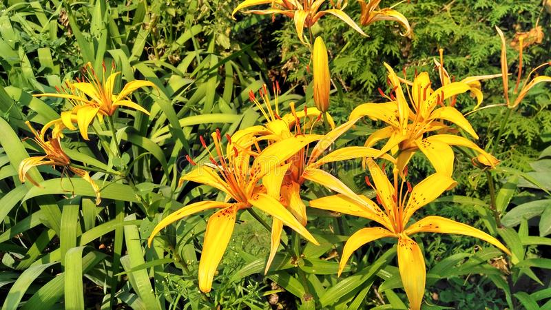 Lily yellow flora garden leaves green mini 23.07.19. 230719 royalty free stock images