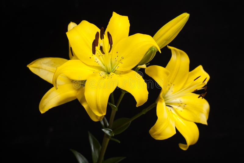 Lily Yellow Still-het leven het schieten royalty-vrije stock afbeeldingen