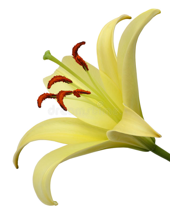 Download Lily Stock Photo - Image: 41196746