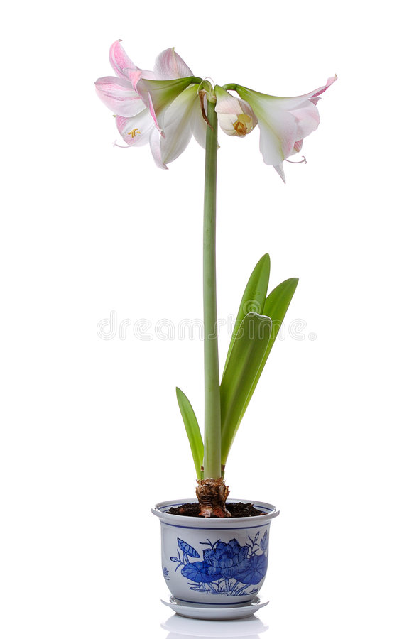 lily zioło zdjęcia royalty free
