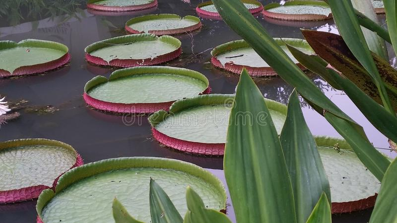 Lilypads del gigante dei waterlilies di Waterlily immagini stock
