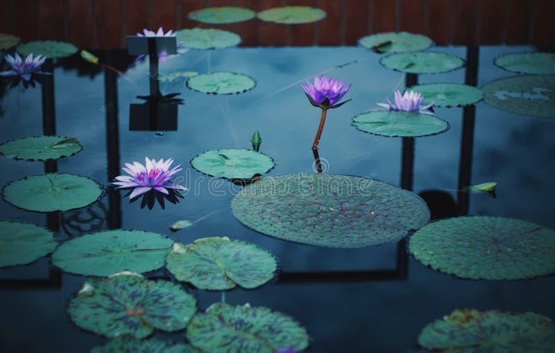 Lilypads et fleurs dans l'eau un jour nuageux images libres de droits