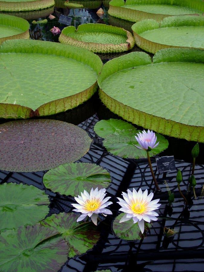 Lilypads gigante imagenes de archivo