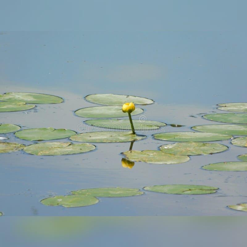 Lilypads i jezioro zdjęcie stock