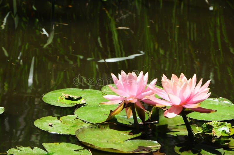 Lilypads ` Nymphaeaceae ` royalty-vrije stock fotografie