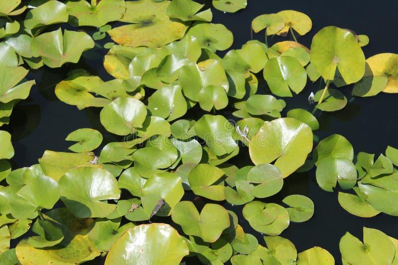Lilypads unosi się swobodnie zdjęcia stock