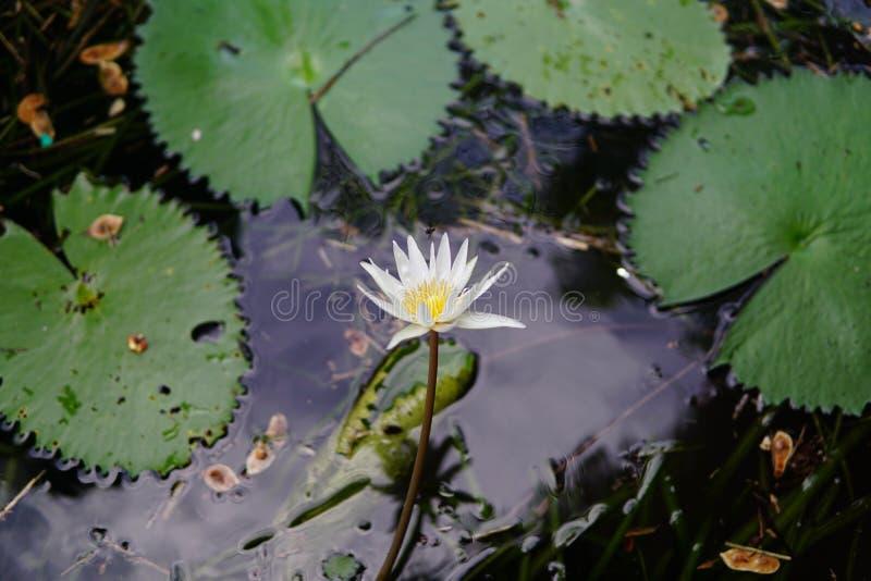 Lilypads y flor foto de archivo