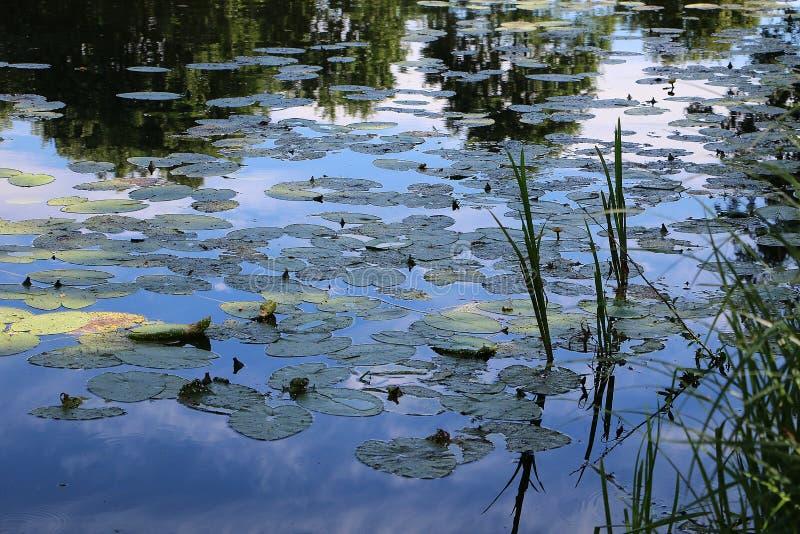 Lilys воды в море стоковая фотография