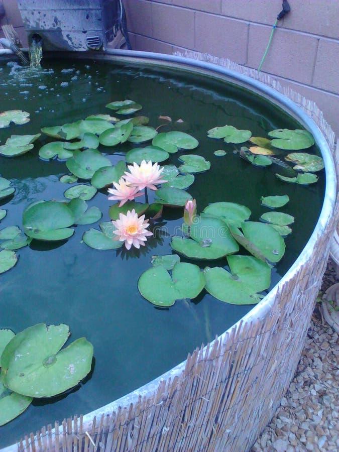 Lilys в моем пруде стоковое фото