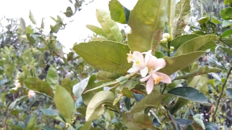 Limão comum aurantifolia do Rutaceae do cal de Sningle do citrino fotos de stock