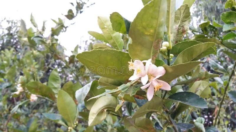 Limão comum aurantifolia do Rutaceae do cal de Sningle do citrino fotos de stock royalty free
