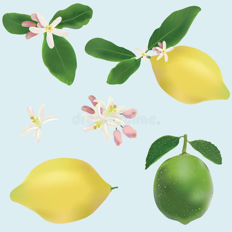 Limão e frutas e flores do cal ilustração do vetor