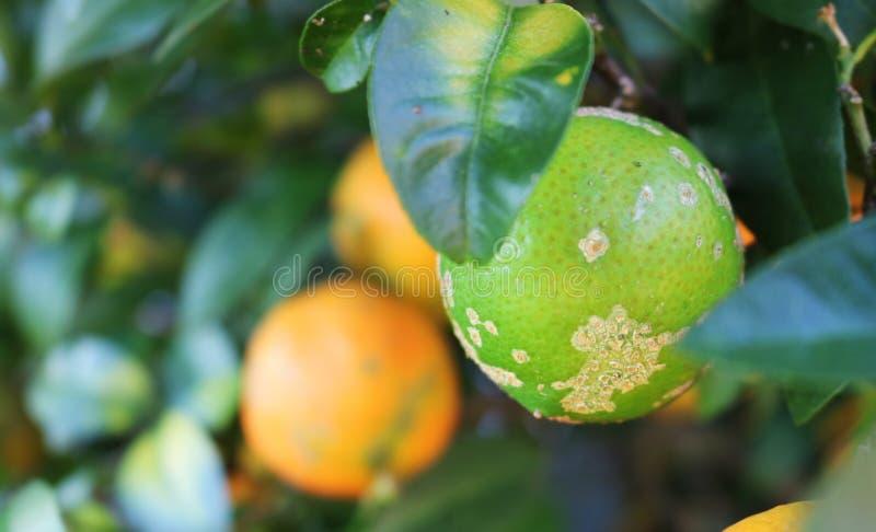 Limão em uma árvore de limão verde imagens de stock