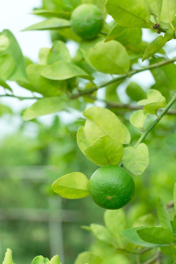 Limão na árvore fotos de stock royalty free
