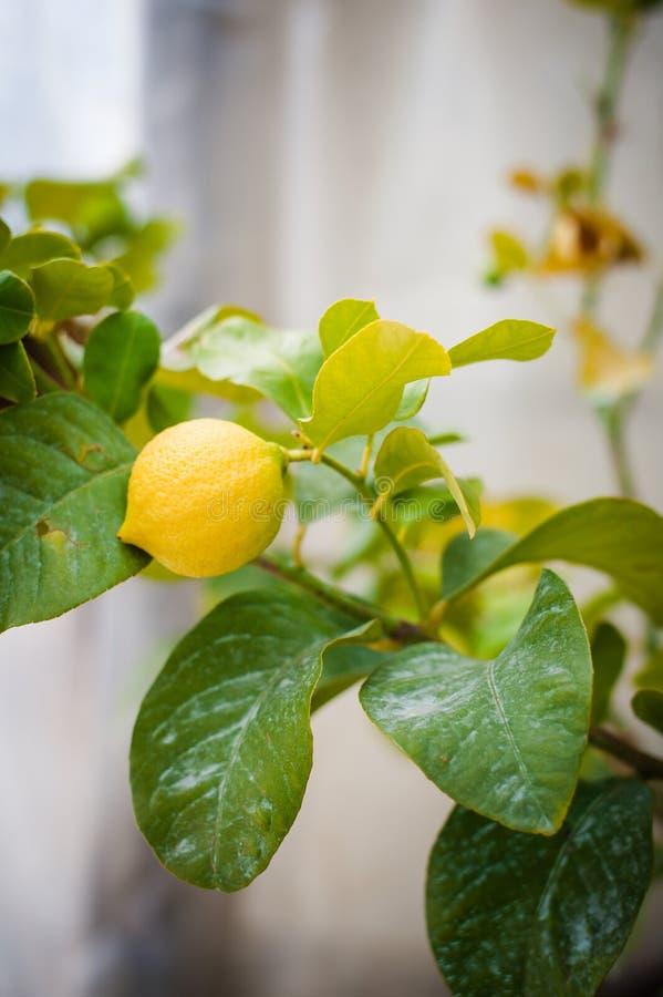 Limão siciliano na árvore fotos de stock