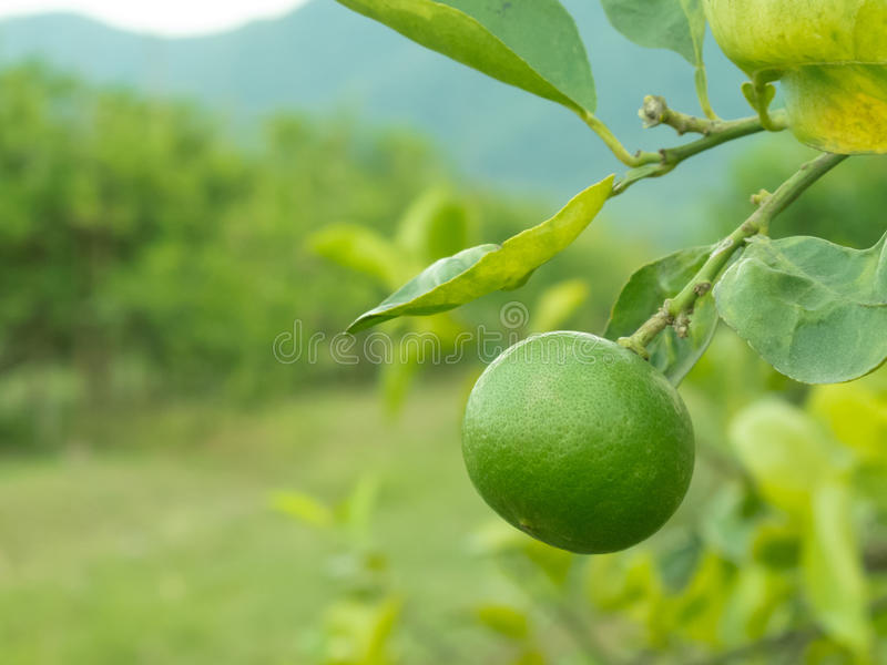 Limão verde fotografia de stock royalty free