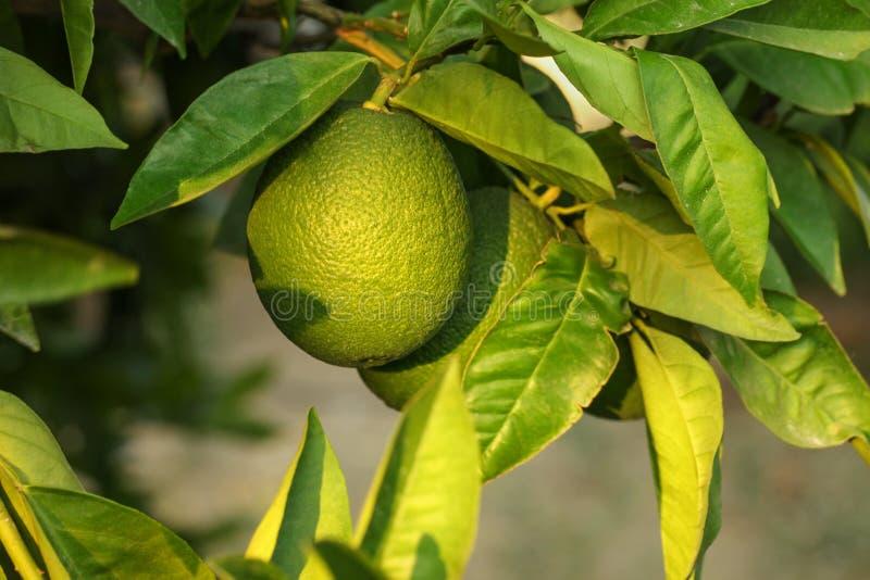 Limão verde verde em uma árvore, nas folhas e nos ramos ao redor fotografia de stock