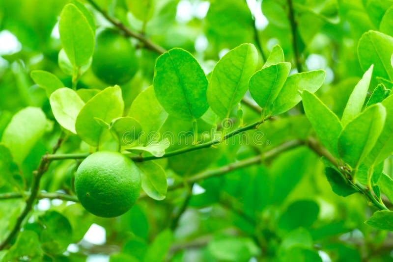 Limão verde fresco na árvore com fundo verde do jardim foto de stock