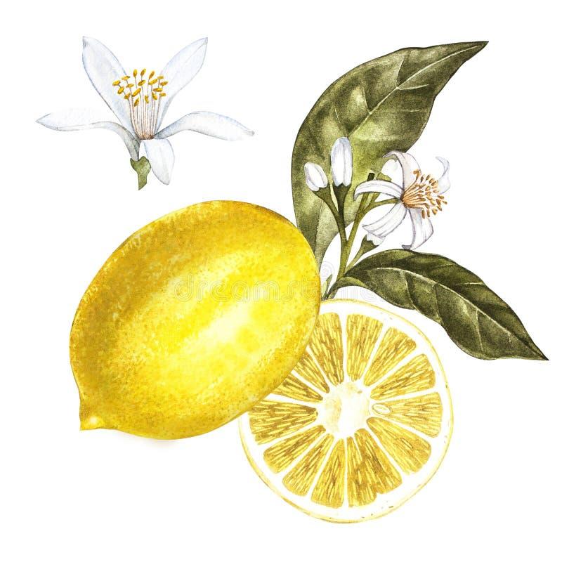 Limón fresco de la acuarela con las flores Ejemplo botánico dibujado mano ilustración del vector
