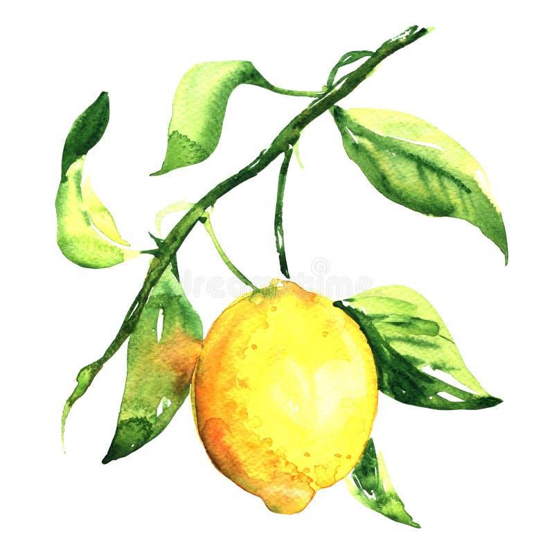 Limón maduro fresco con la hoja en la rama aislada, ejemplo de la acuarela ilustración del vector