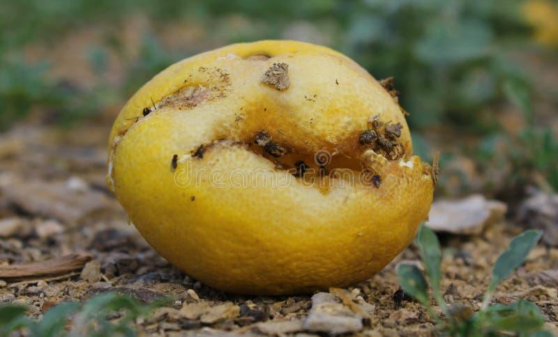 Limón putrefacto fotografía de archivo