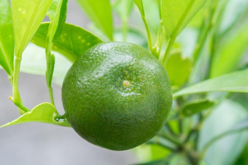 Limón verde y fresco en el árbol en el jardín fotos de archivo