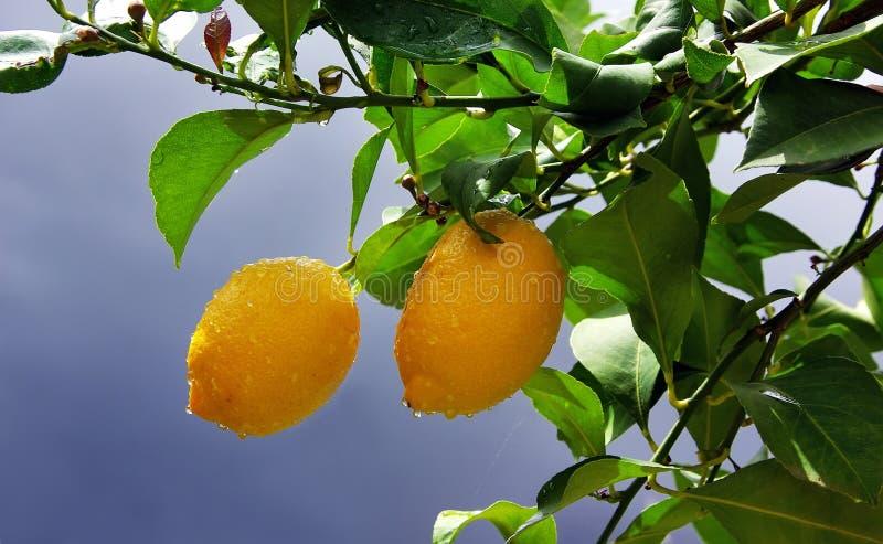 Limões amarelos na árvore imagem de stock