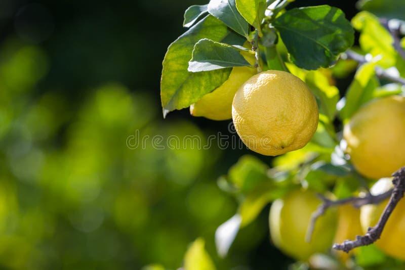 Limões em Califórnia fotos de stock