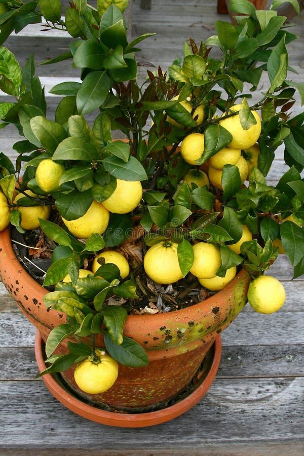 Limões em um potenciômetro fotografia de stock royalty free