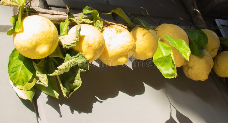 Limões frescos enormes de Sorrento que penduram no mercado de rua Italy foto de stock royalty free