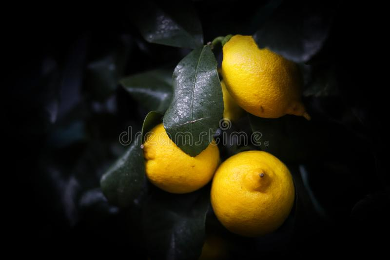 Limões frescos no fundo escuro fotografia de stock royalty free