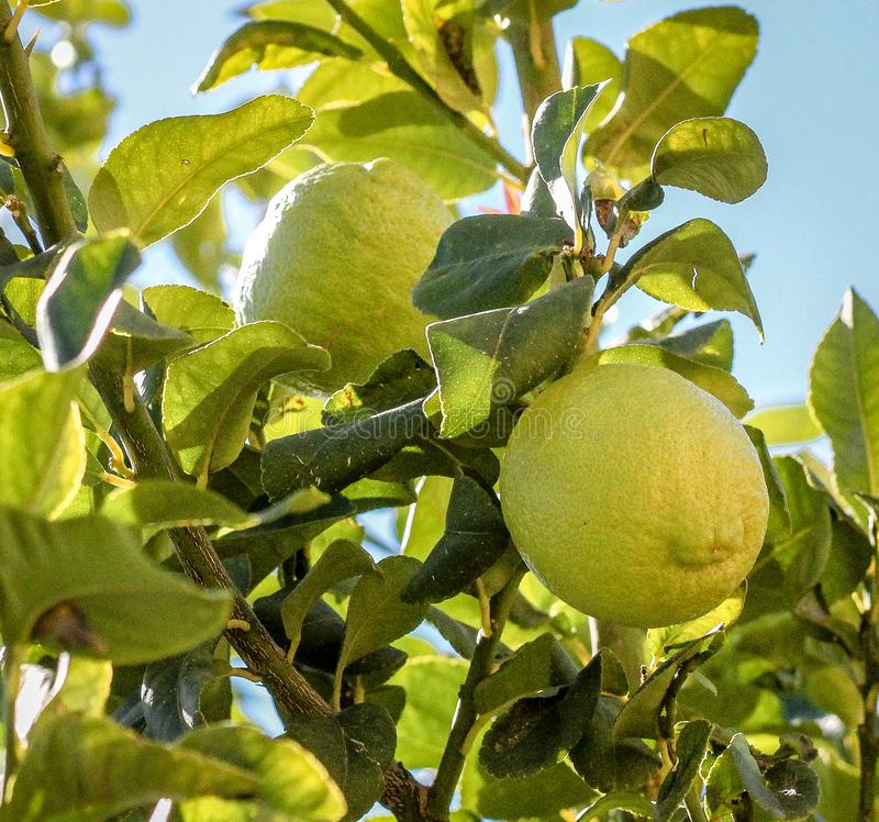 Limões orgânicos na árvore, hora para a colheita, Limassol Chipre foto de stock royalty free