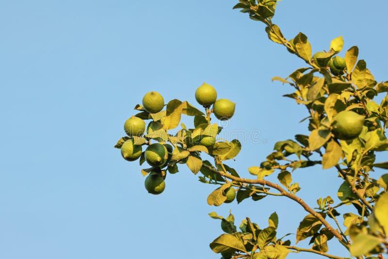 Limões verdes verdes na árvore contra o céu azul, iluminado pelo afterno foto de stock royalty free
