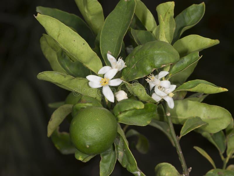 Árbol de lima agria imagenes de archivo