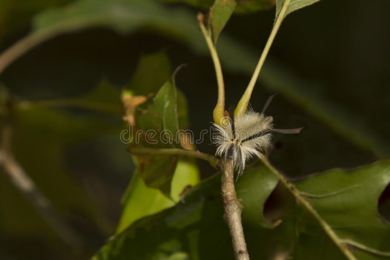 Limantria legata pelosa Caterpillar, vista facciale immagini stock libere da diritti