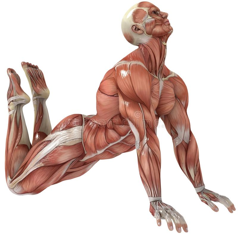 Limber. A male model showing the muscles and his flexibility stock illustration