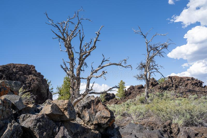 Limber pine trees and sagebrush grow with black lava rock in Craters of the Moon National Monument in Idaho USA royalty free stock image