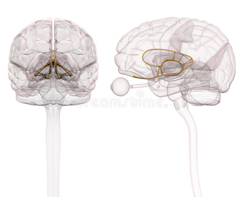 Limbic system Brain Anatomy - illustration 3d stock illustrationer