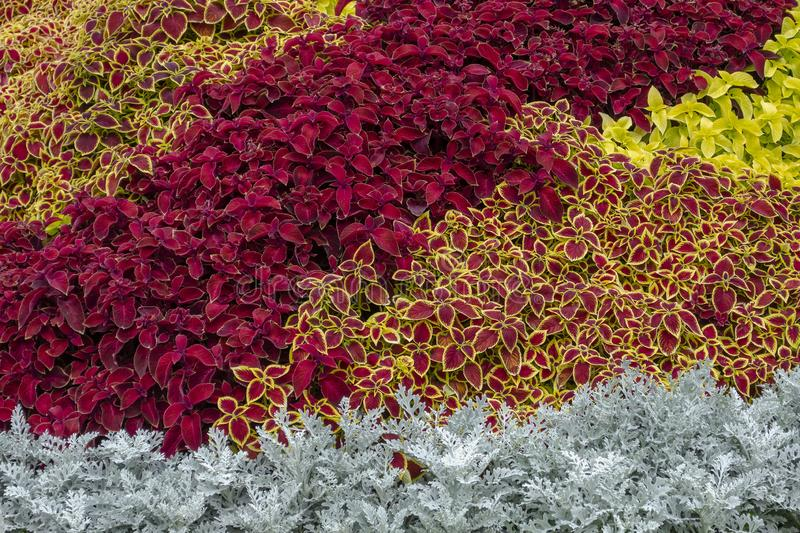A flower bed with silver cineraria, a red coleus in a city park on a summer day. Landscape design. Floral background. Burgundy, motley coleus, silver cineraria royalty free stock photos